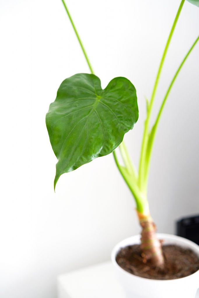 L'Alocasia Cucullata : le guide d'entretien complet pour réussir à le cultiver en intérieur.