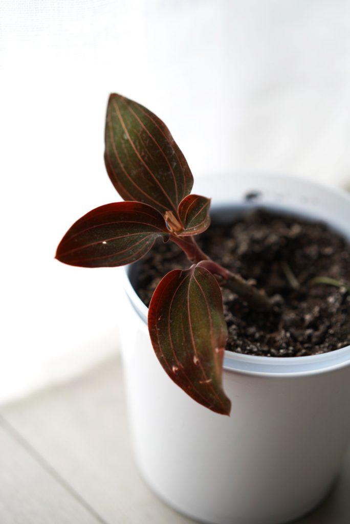 Ludisia Discolor appelée aussi Orchidée Bijou