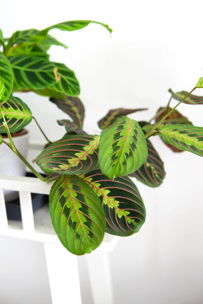La Maranta, la prayer plant