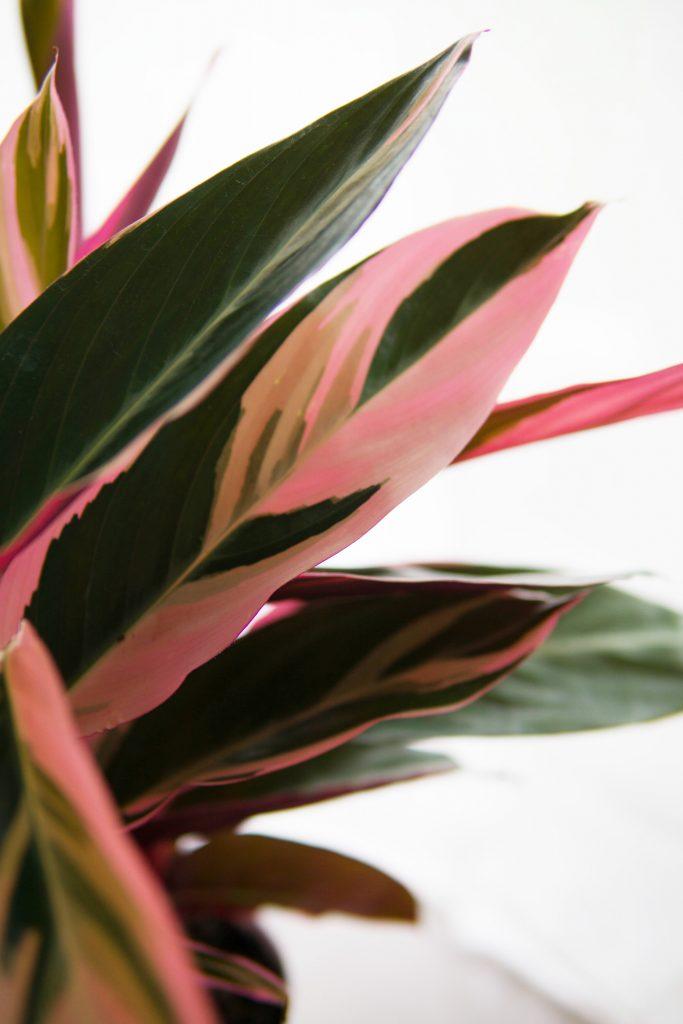 Le succès fou des Pink Plants !