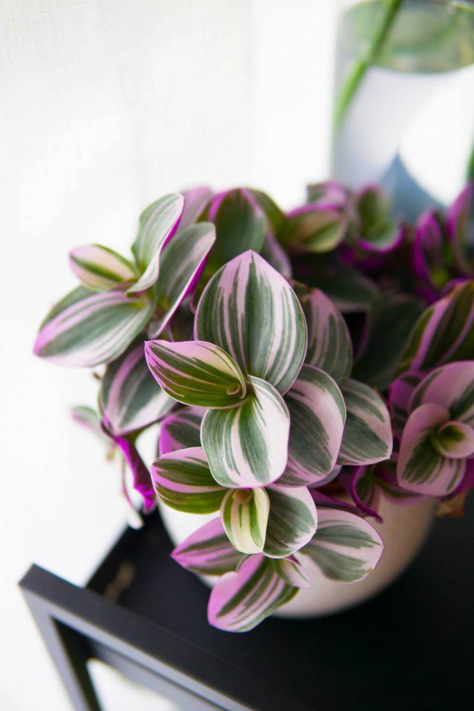 Pink Plants : pourquoi ont-elles autant de succès ?