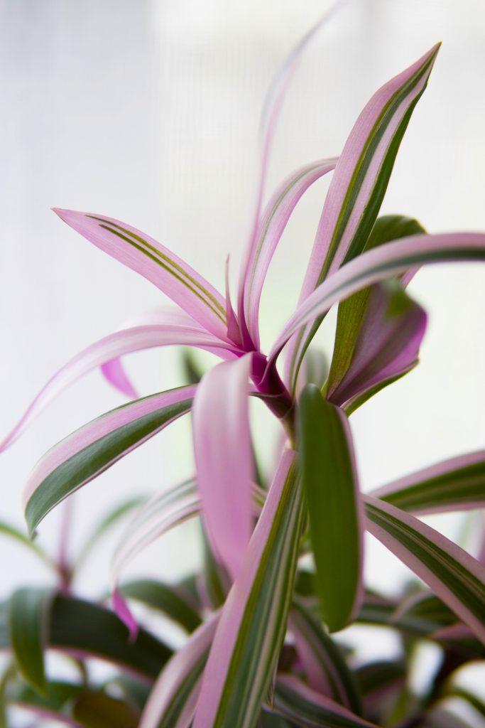"""La tendance des """"pink plants"""" : les  3 raisons qui expliquent leur succès auprès des Plant Addicts"""