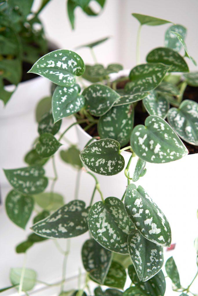 Le pothos argenté : une plante irrésistible qui résiste à tout !