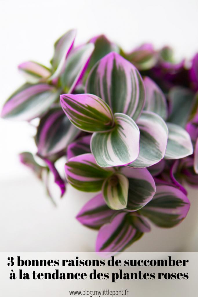 Découvrez les raisons pour lesquels les plantes panachées de rose connaissent autant de succès auprès des plant addicts