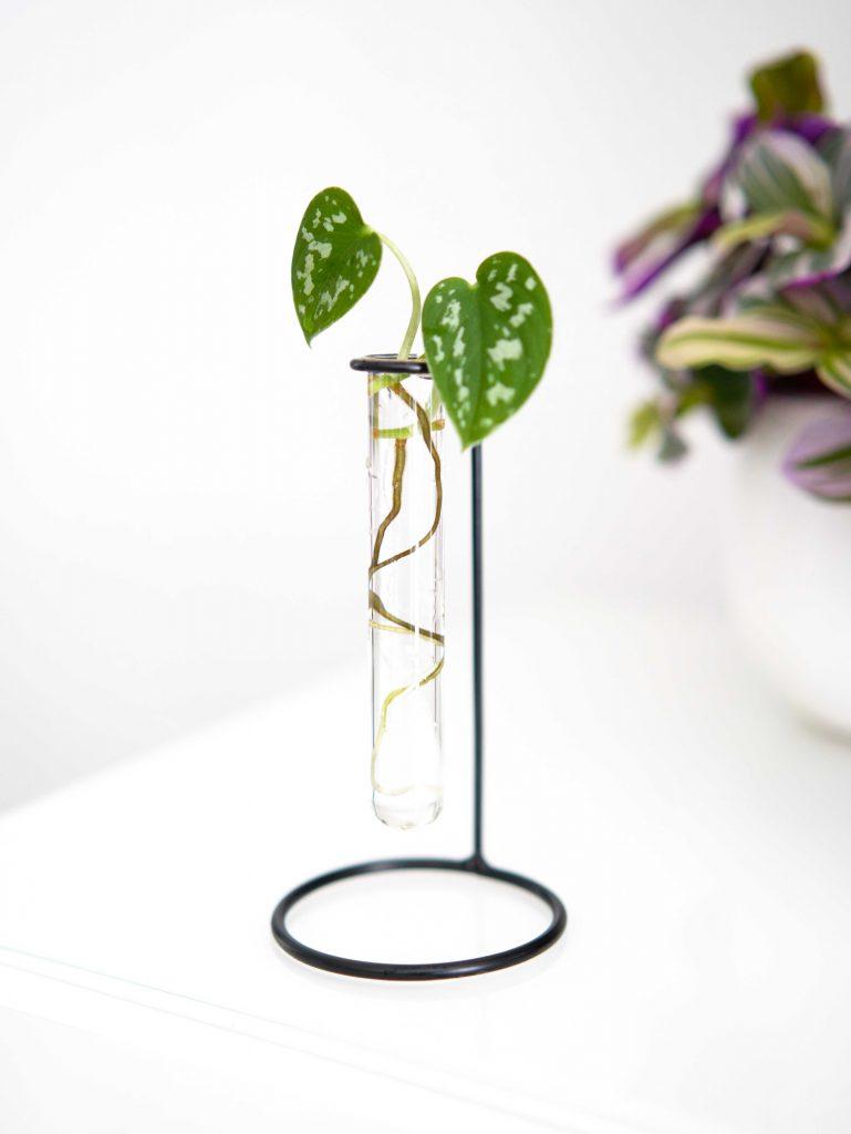 Il existe différentes techniques de bouturage qui permettent de faire naître une nouvelle plante à partir d'une tige d'une plante mère. Moi, personnellement, je préfère bouturer mes plantes dans l'eau. C'est la technique avec laquelle je me sens le plus à l'aise pour reproduire mes plantes d'intérieur et pour cause, elle est assez simple à apprivoiser et plutôt magique à observer !
