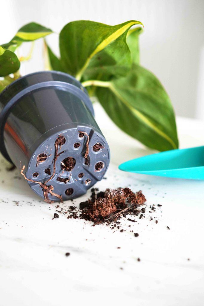 En matière de jardinage, vos plantes ont le don de vous parler. Apprenez à travers cet article à reconnaître quand votre plante a besoin d'être rempotée.