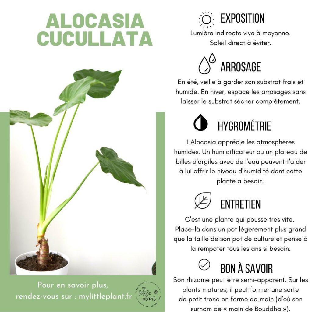 Fiche d'entretien pratique pour l'alocasia cucullata