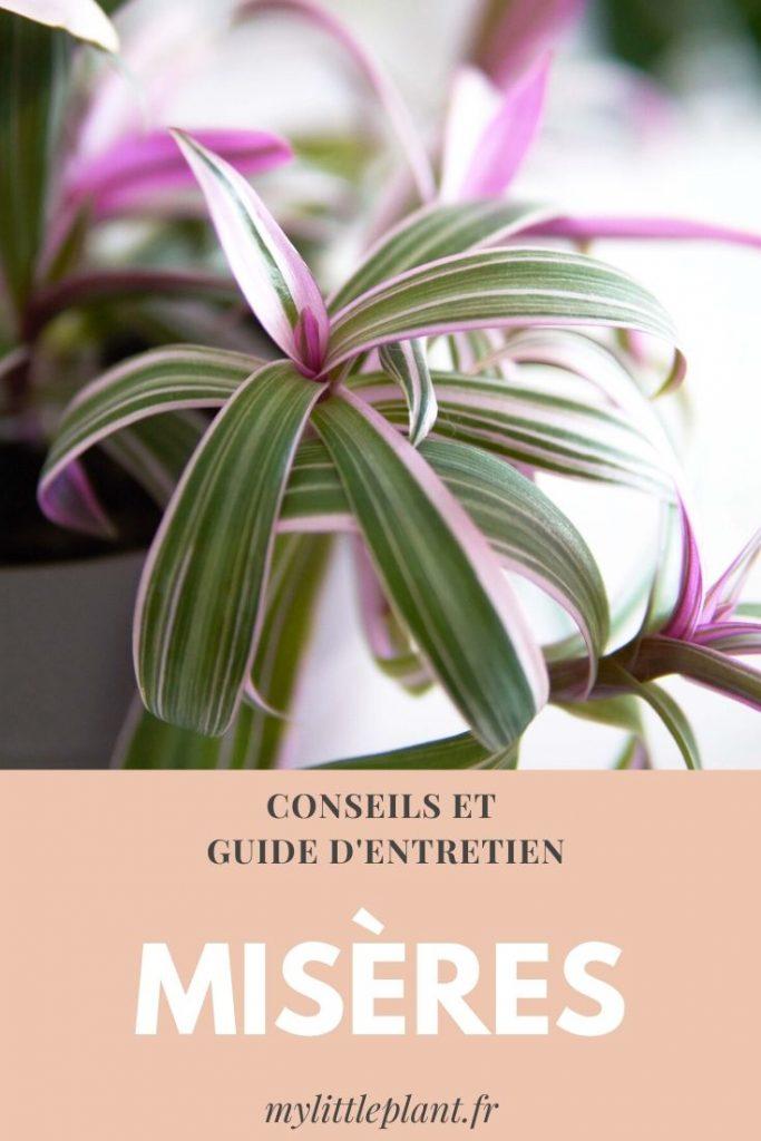 conseils et guide d'entretien sur les misères (plante)