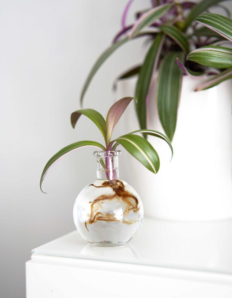 Bouture de misère Purple Flame dans un vase de bouurage vintage