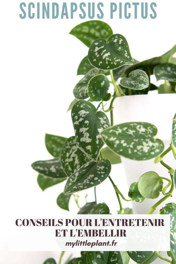 Entretien du Scindapsus Pictus : découvrez tous nos conseils pour avoir un beau pothos argenté