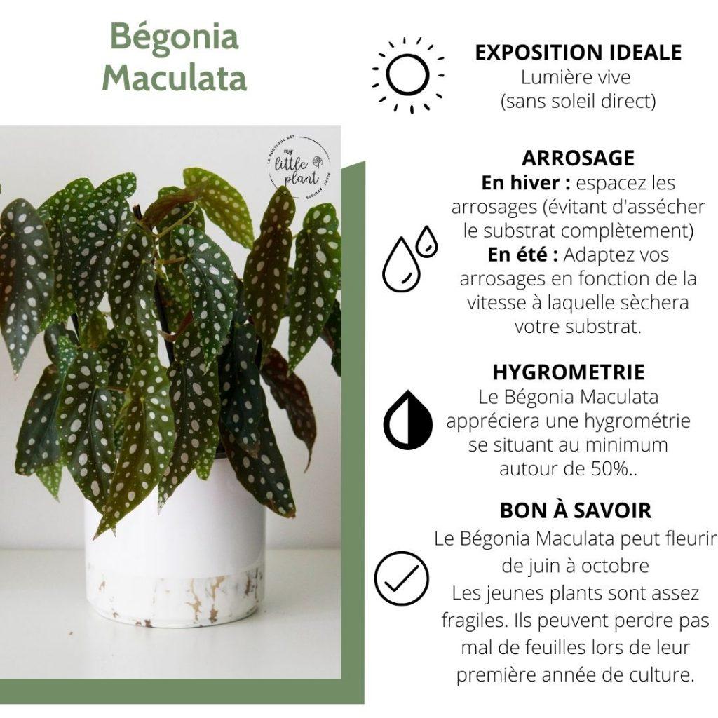 Comment réussir à entretenir un Bégonia Maculata ?
